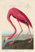 Robert Havell - American Flamingo, 1838